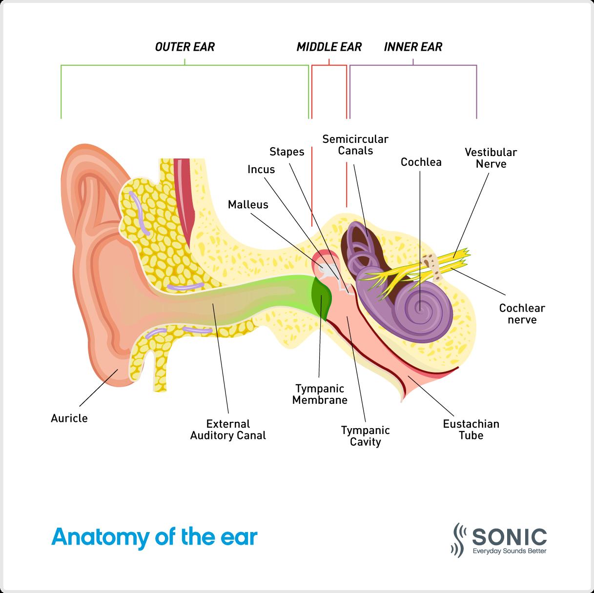 anatomy-of-the-ear